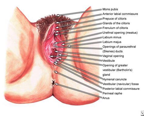 The vagina vulva female anatomy pictures, parts jpg 1800x1448