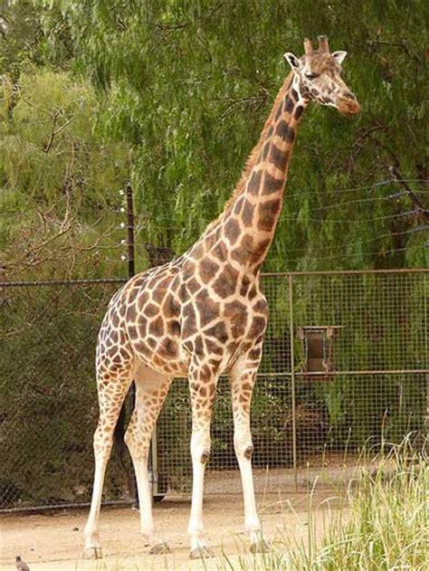 heigth of an adult giraffe jpg 400x533